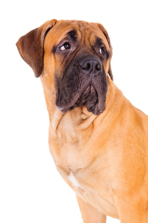 face close up: red bullmastiff puppy face close up  dog isolated on white background Stock Photo