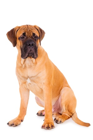 bullmastiff: red puppy bullmastiff sitting on a white background, isolated