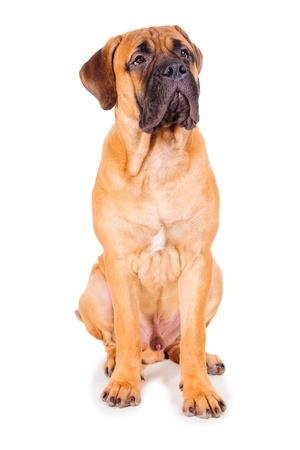 白い背景の上に座っている子犬赤ブルマスティフ 写真素材