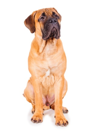 red puppy bullmastiff sitting on a white background