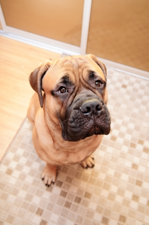junior bullmastiff dog sitting in the house. 8 months age. camera view from above Stock Photo - 18545730