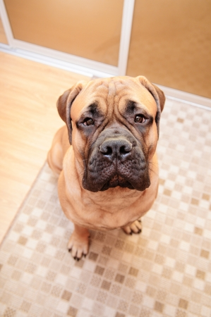 junior bullmastiff dog sitting in the house. 8 months age. camera view from above