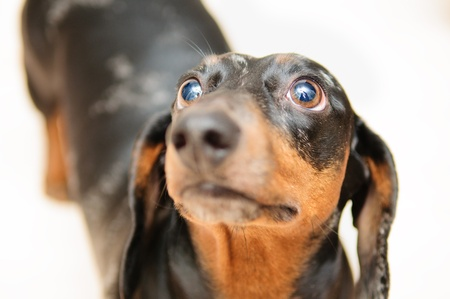 funny dachshund dog standing on the floor in the room. top view. portrait close-up photo