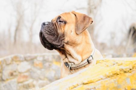 profile view: bullmastiff dog portrait close-up. profile view Stock Photo