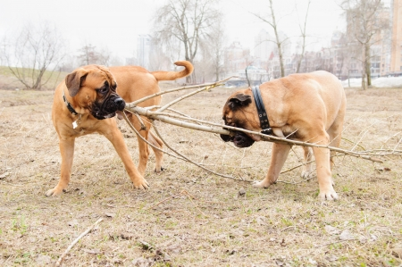 played: two dogs. junior puppy and adult  bullmastiff play outside in the park