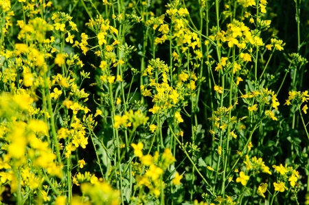 napus: Flowering rapeseed closeup, on a field of rape in spring Stock Photo