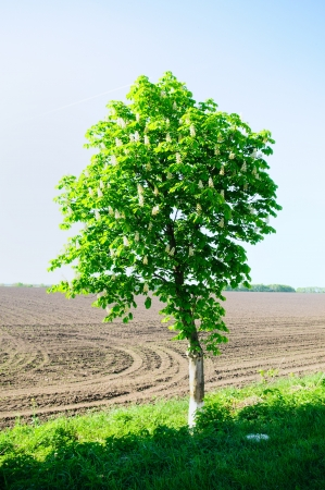 Horse chestnut tree blooming. Landscape of Ukraine photo
