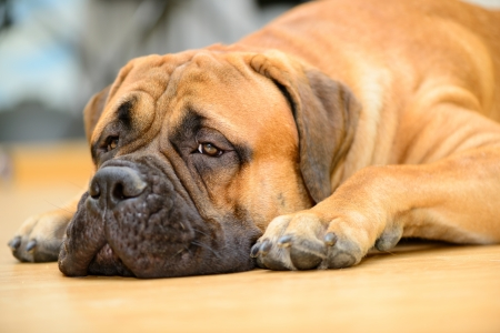 bullmastiff dog lying on the wooden floor at home