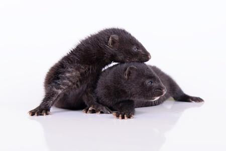 mink: due piccoli visone furetto animale su uno sfondo bianco