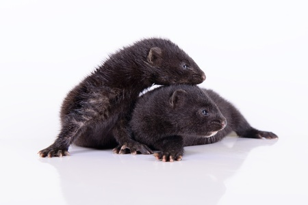 two small animal mink ferret on a white background