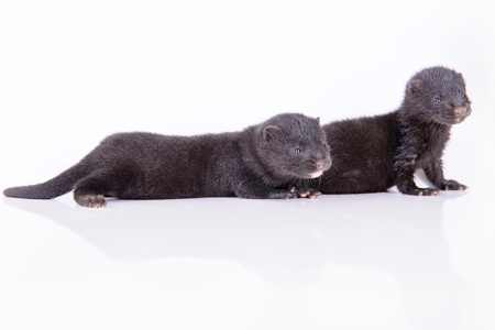 pet valuable: two small black animals mink on a white background