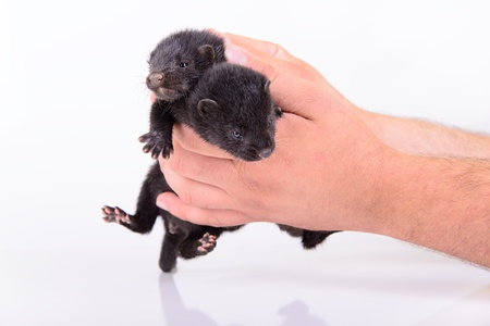 pet valuable: two small black animal mink sits in a human hand on a white background