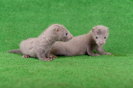 pet valuable: Two small gray animals mink on a green background
