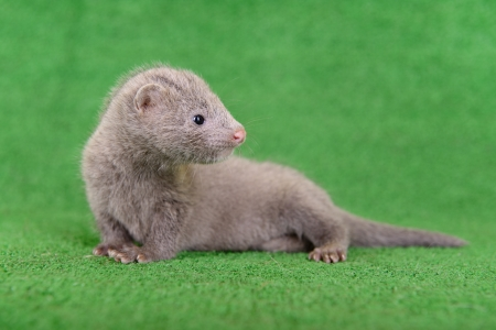 pet valuable: small gray animal mink on a green background Stock Photo