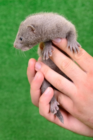 pet valuable: small gray animal mink on a human hand on a green background Stock Photo