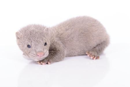 mink: small gray animal mink on white background