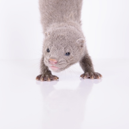 clutches: small gray animal mink stand on the front paws. on a white background Stock Photo