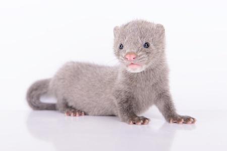 visone: piccolo animale visone grigio su sfondo bianco Archivio Fotografico