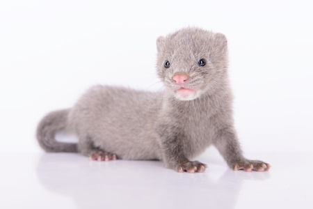 small gray animal mink on white background