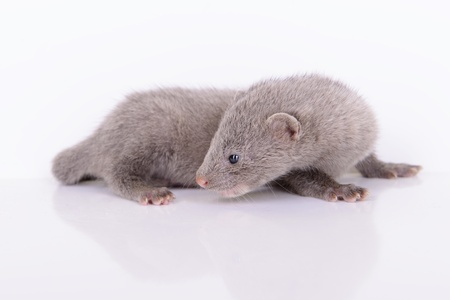 pet valuable: small gray animal mink on a white background Stock Photo