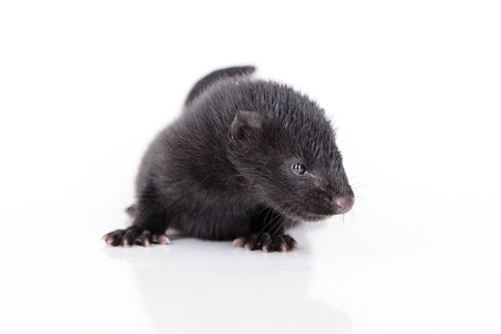 pet valuable: peque�o animal de vis�n negro sobre fondo blanco