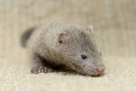 pet valuable: small gray puppy animal mink on sacking