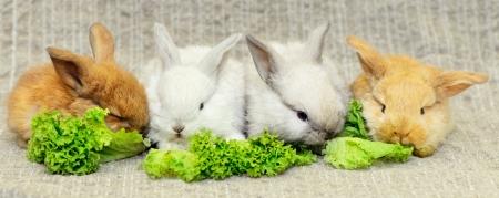 four newborn rabbits eat green leaf lettuce. on burlap fabric photo