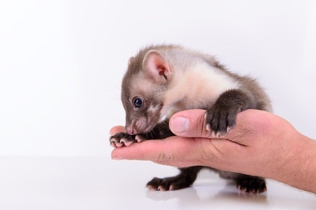small animal marten in human hand on white background Stock Photo