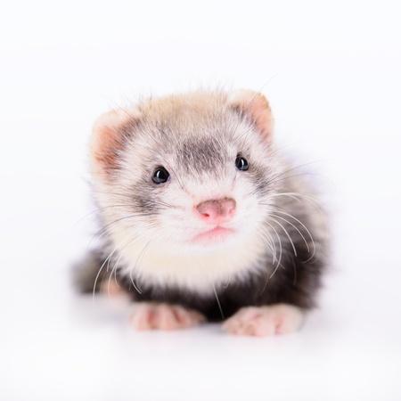 白い背景の上の小さな家畜齧歯動物フェレット