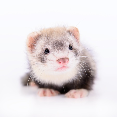 clutches: small animal rodent ferret on a white background