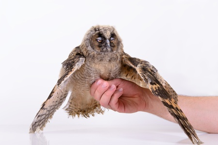 bird owl sitting and sleeps on a human hand. on a white background photo
