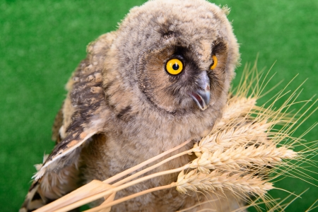 young bird owl sitting with spikelets of wheat photo