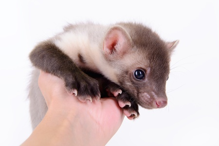 pet valuable: small animal marten in human hand on white background Stock Photo
