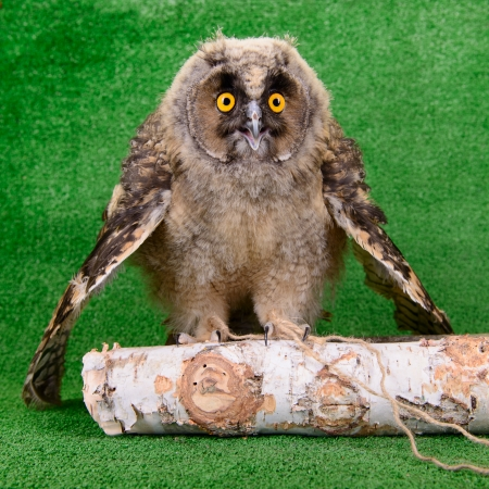 young bird owl sitting on a wooden birch branch photo