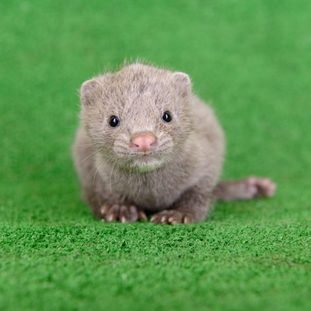 pet valuable: small gray animal mink on green background Stock Photo