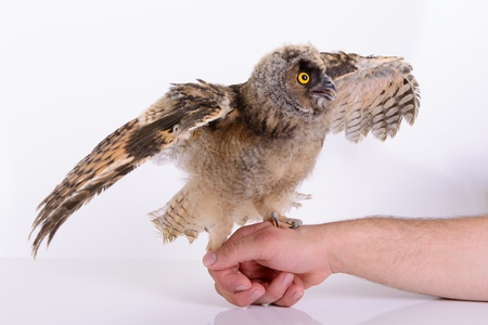 bird owl sitting on a human hand. on white background photo