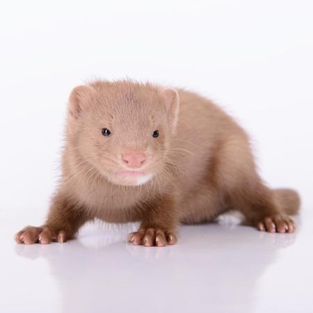visone: piccolo roditore visone animale su uno sfondo bianco