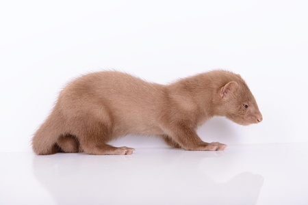 pet valuable: small animal rodent mink on a white background