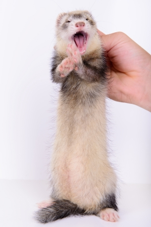 pet valuable: small animal rodent ferret in human hand on a white background