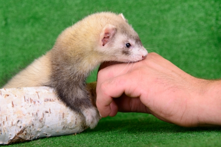 small animal rodent ferret in human hand on a green background