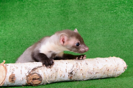 pet valuable: small animal marten on green background
