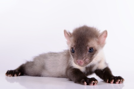 pet valuable: small animal marten on white background