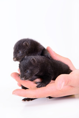pet valuable: two small animal mink ferret on human hands on white background Stock Photo