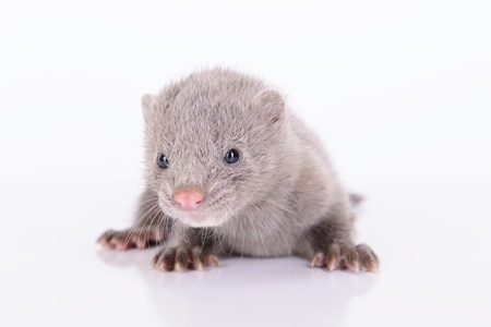 pet valuable: small gray animal mink on white background