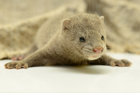 pet valuable: small gray animal mink close-up