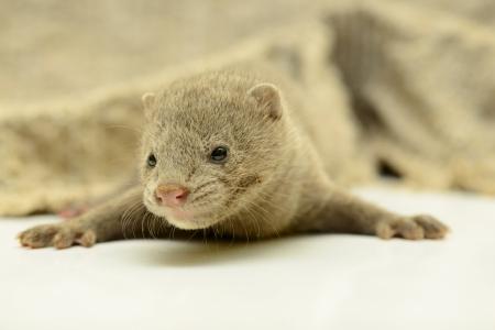 nerts: kleine grijze dier nertsen close-up Stockfoto