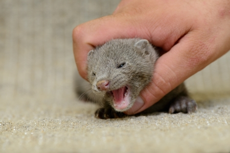 pet valuable: small gray animal mink on a human hand