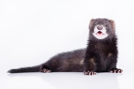 small animal rodent ferret on a white background photo