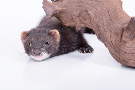 pet valuable: small animal rodent ferret on a white background. hiding under a wooden snag
