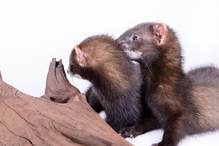 pet valuable: two small animal rodent ferret on a white background